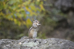 哺养从手的花栗鼠 图库摄影