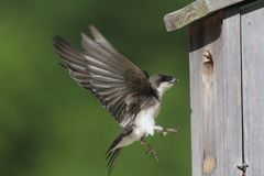 哺养树的燕子带来食物筑巢 免版税库存图片