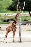 哺养从树的长颈鹿 库存照片