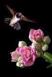 哺养从桃红色花垂直图象的蜂鸟 免版税库存图片
