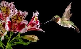 哺养从桃红色花的蜂鸟 图库摄影