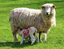哺养从母羊的春天羊羔 免版税图库摄影