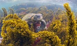 哺养绿浪的乌龟,加拉帕戈斯群岛 库存图片