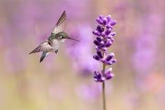 哺养从淡紫色花的蜂鸟 免版税库存照片