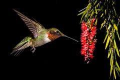哺养从洗瓶刷花的红宝石红喉刺莺的蜂鸟 库存图片