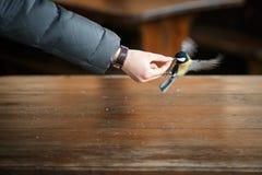 哺养用手的飞行的黄色山雀 免版税库存照片