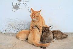 哺养由母亲猫的四只小猫 图库摄影