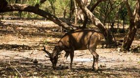 哺养的一头棕色幼小鹿通过弯曲和吃从在forrest的地面 库存照片