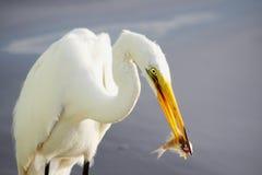 哺养4的伟大的白鹭 免版税库存图片
