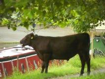 哺养的公牛在剑桥 免版税库存图片