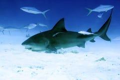 哺养的公牛鲨鱼 库存图片