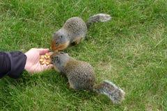 哺养的土拨鼠 库存图片