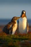 哺养的场面 幼小在成人gentoo企鹅,福克兰旁边的gentoo企鹅beging的食物 在草的企鹅 与pa的年轻gentoo 免版税库存照片