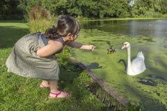 哺养的天鹅和鸭子 库存图片