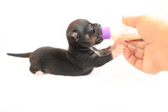 哺养的奇瓦瓦狗小狗 免版税库存图片