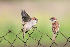 哺养的小鸡在老篱芭网的鸟 免版税库存照片