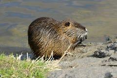 哺养的巨水鼠(Nutrie)在伏尔塔瓦河河,布拉格,捷克,欧洲河岸  免版税库存照片