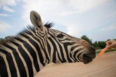 哺养的斑马 免版税库存照片