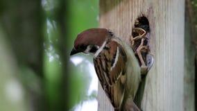 哺养的欧亚树麻雀, Brummen,荷兰 影视素材