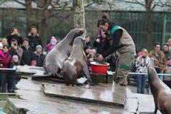 哺养的海狮 库存图片