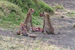 哺养的猎豹 免版税图库摄影