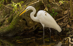 哺养的白鹭 免版税库存照片