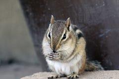 哺养的花栗鼠 图库摄影
