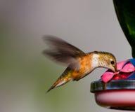 哺养的蜂鸟 库存照片