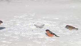 哺养的野生鸟在冬天 股票视频