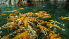 哺养的金黄鲤鱼 影视素材