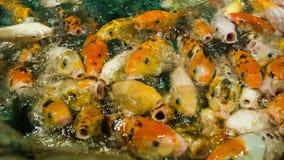 哺养的金黄鲤鱼2 影视素材