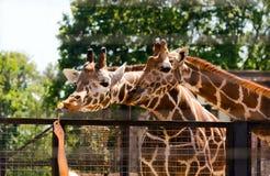 哺养的长颈鹿在动物园里 库存照片