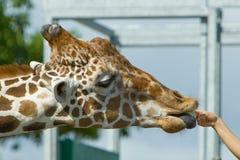 哺养的长颈鹿 免版税库存照片
