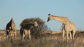 哺养的长颈鹿 影视素材