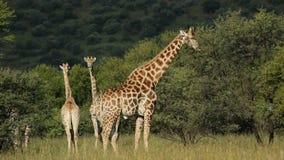 哺养的长颈鹿 股票录像