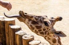 哺养的长颈鹿 图库摄影