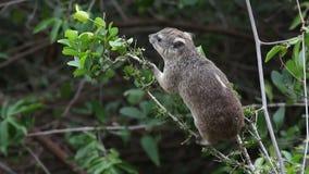 哺养的非洲蹄兔 影视素材
