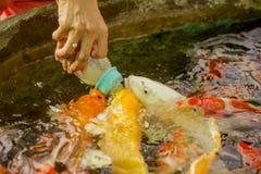 哺养的饥饿的花梢鲤鱼在水池钓鱼 库存图片