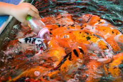 哺养的饥饿的鲤鱼鱼 库存图片