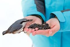 哺养的饥饿的鸟在冬天 五子雀采取向日葵 免版税库存图片