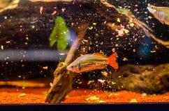 哺养的鱼 图库摄影