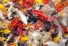 哺养的鲤鱼 免版税库存图片