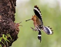 哺养的鸟 免版税图库摄影