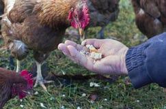 哺养的鸡 库存图片