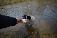 哺养的鸭子 免版税库存照片