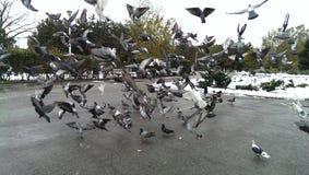 哺养的鸽子在公园 免版税图库摄影