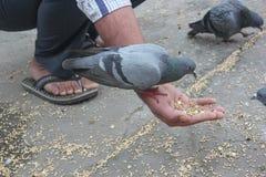哺养的鸽子 免版税库存图片