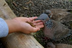 哺养的鸽子 库存图片