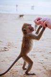 哺养的猴子 库存照片