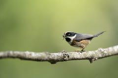 哺养的黑红喉刺莺的山雀举行食物本质上 库存图片